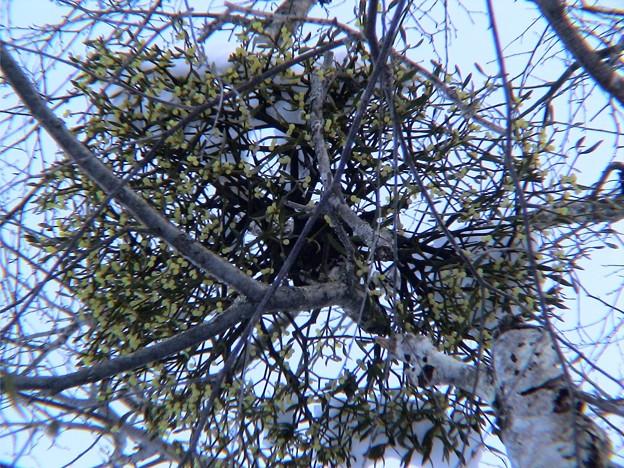 雪をかぶった宿木