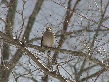 冬鳥 シメ   0109
