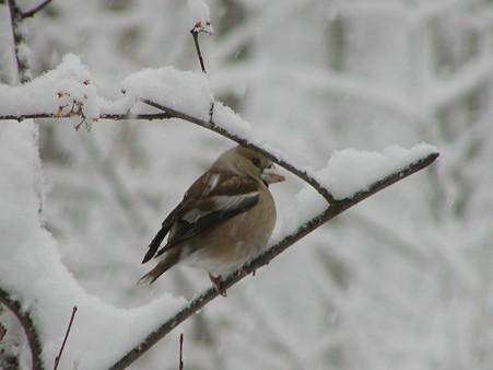 雪でじっとしてる。シメ  P4050011