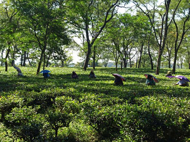 58.ダージリンのお茶畑