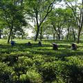 写真: 58.ダージリンのお茶畑