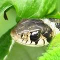 ヤマカガシは有毒ヘビ4319
