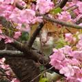 河津桜&猫1026