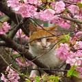 河津桜&猫1027