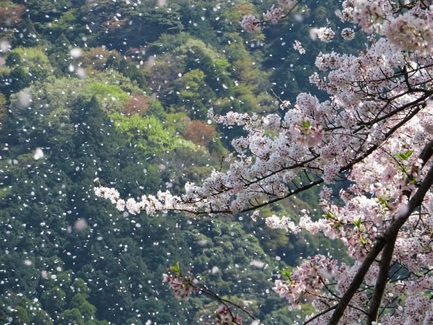 桜吹雪(小岳城)_1353