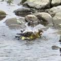 Photos: カワラヒワ水浴び_1641
