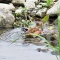 写真: ホオジロ♂水浴び_1648