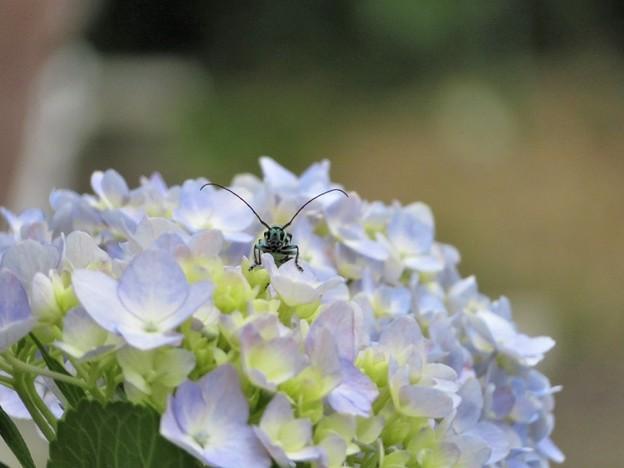 紫陽花&ラミーカミキリ(庭)_3391