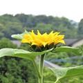 天に向かって咲くヒマワリ(庭)_3941