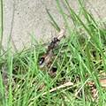 ジガバチ(庭)_4558