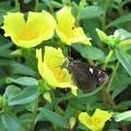 写真: クロセセリ(庭の花)_5933