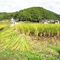 稲刈り(実家)_7656