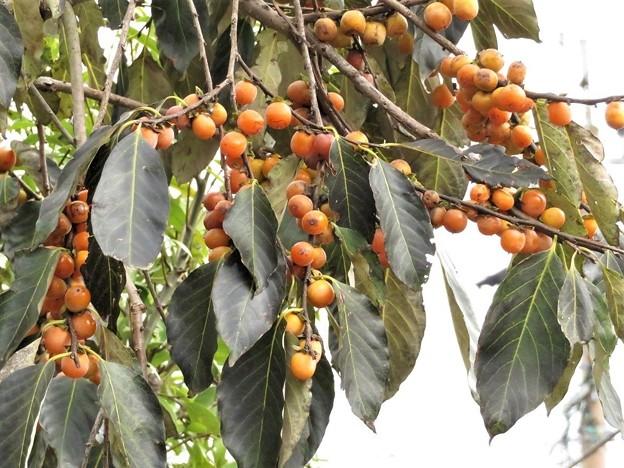 豆柿_9356