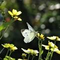 写真: モンシロチョウ&ウインターコスモス(庭)_9496