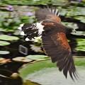 写真: 睡蓮の池の上を飛ぶ、
