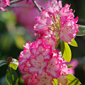 Photos: 170429_板橋区・赤塚植物園_シャクナゲ仲間_G170429E5069_MZD300P_X7Ss
