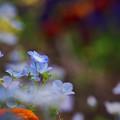 Photos: 170429_板橋区・赤塚植物園_ネモフィラ_G170429E4988_MZD300P_X7Ss