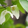 Photos: 170429_板橋区・赤塚植物園_ハンカチノキ_G170429E5080_MZD300P_X7Ss