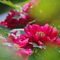 Photos: 170429_板橋区・赤塚植物園_ボタン_G170429E5060_MZD300P_X7Ss