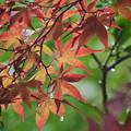 写真: 170908_箱根湿生花園_着露紅葉<カエデ仲間「ノムラカエデ」>_G170908J6097_MZD300P_FH_C-SG_FS2_X8Ss
