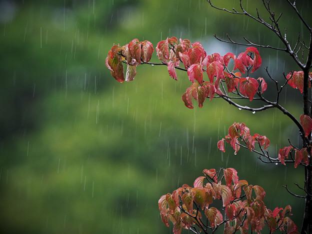 170908_箱根湿生花園_雨脚<ヤマボウシ>_G170908J5998_MZD300P_FH_C-SG_FS2_X8Ss
