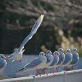 171123_藤沢・引地川親水公園_飛翔<ユリカモメ>_G171123M2799_MZD300P_X8Ss