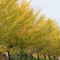 写真: 近くの銀杏並木
