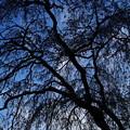 写真: 影桜