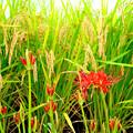 写真: 彼岸花が咲くころ