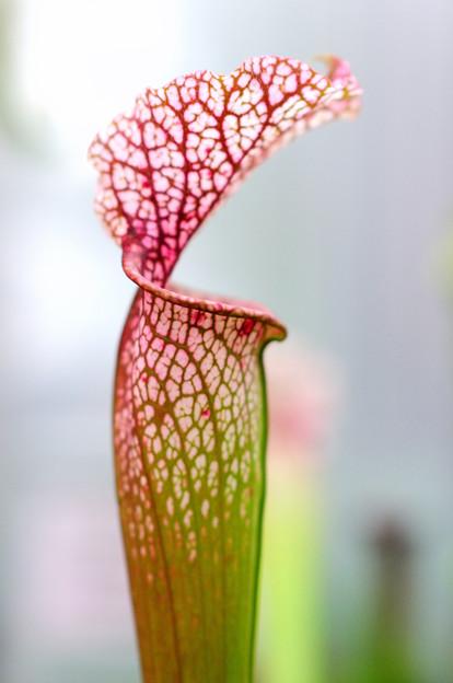 食虫植物(ウツボカズラ)