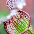 Photos: 食虫植物(ウツボカズラ)
