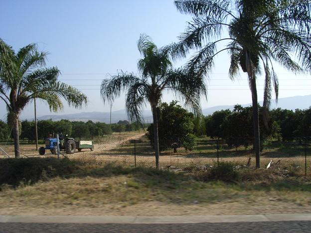 ムプマランガ オレンジ畑で農作業