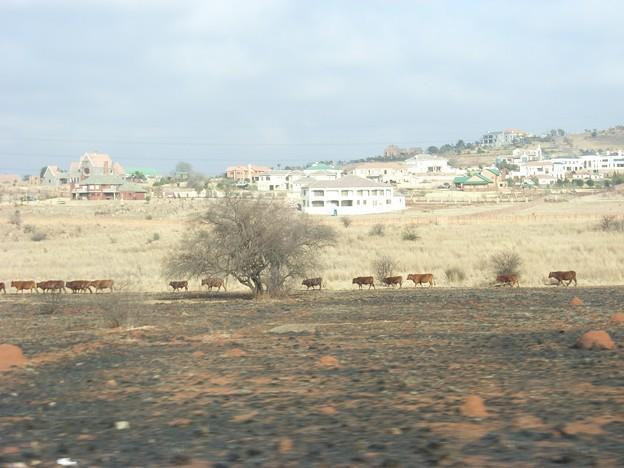 ハウテン 新興住宅地の麓を歩く牛たち