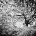 写真: 大きな桜の樹の下で