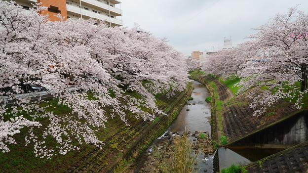 写真: 四月 奈良佐保川