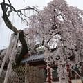 写真: 冰室神社有名的枝垂櫻