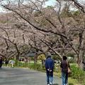 Photos: 桜「ソメイヨシノ」