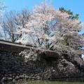 隅櫓石垣と桜
