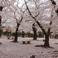桜のジュータン
