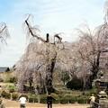 本堂正面にある2本が樹齢500年、350年とされるしだれ桜