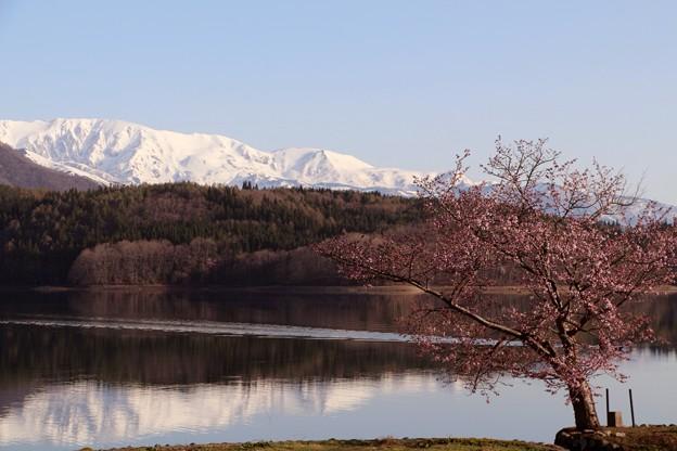 名峰群が湖面に映る様、小さいながらも存在感のある一本桜