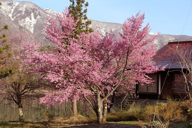 オオヤマザクラの一本桜