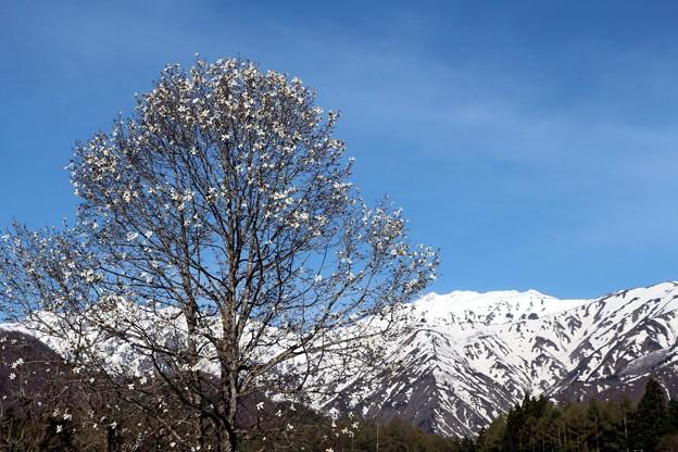 残雪の白馬連山とコブシ