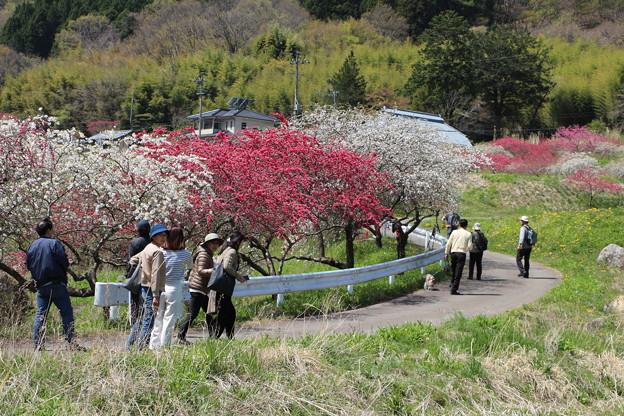 現代の桃源郷!村中をピンクの花桃が彩ります
