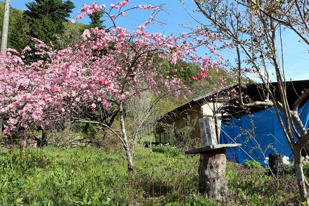 初代花桃の原木