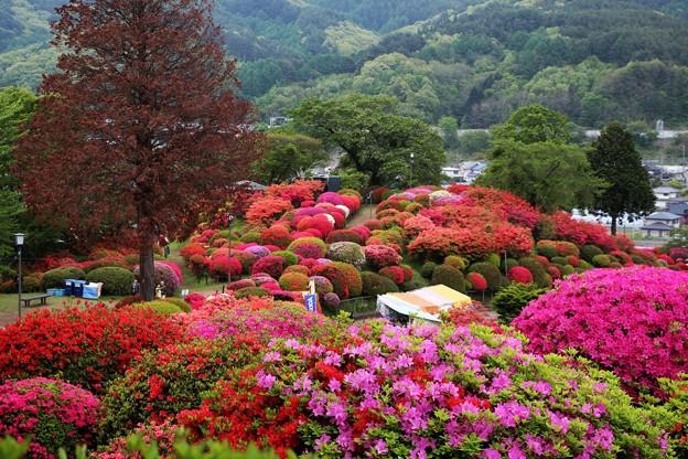 小高い丘一面にツツジが咲き乱れてます