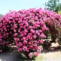 ピンクのドーム