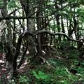 ピグミーの森