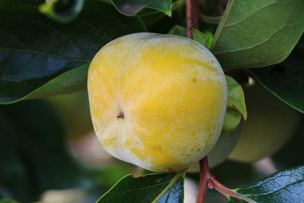 秋の味覚「次郎柿」