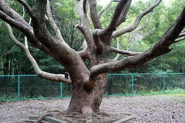 タコの足の様な枝振りのクスノキ